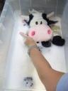 牛さんのぬいぐるみマイクロバブルにクリーニング2